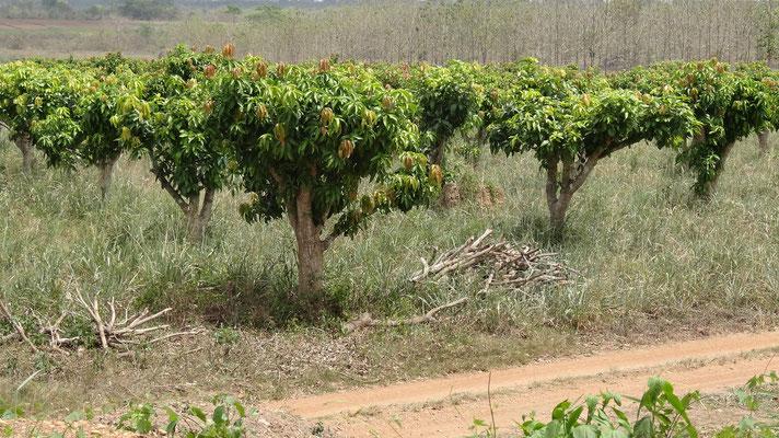 Langsam sind unsere Mangobäume gewachsen