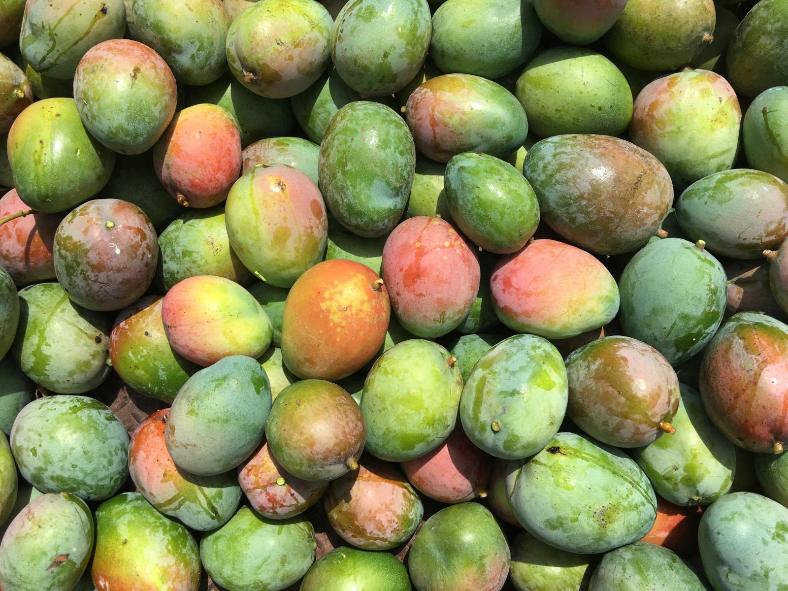 Die geernteten Mangos werden zum Großteil auf dem Markt verkauft